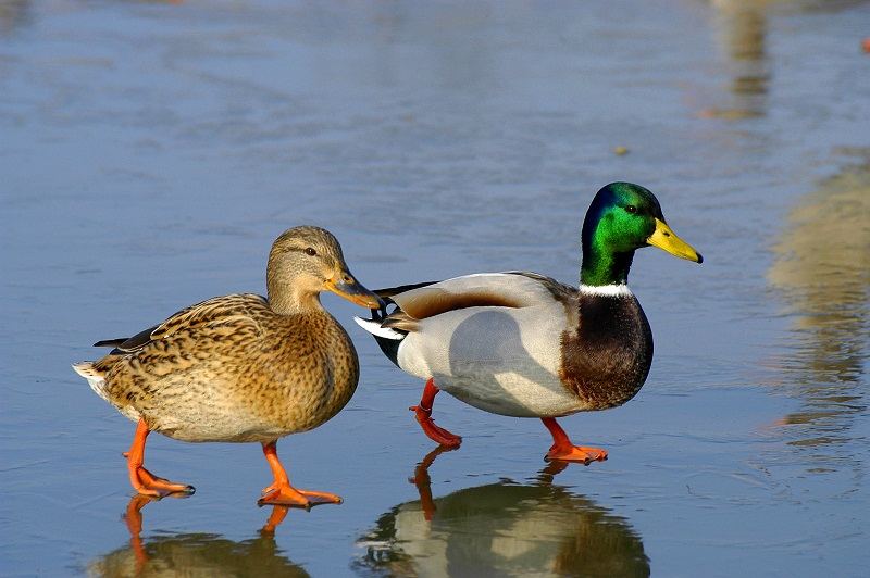 Duck Duck Toddler. A Waterloo Park Adventure
